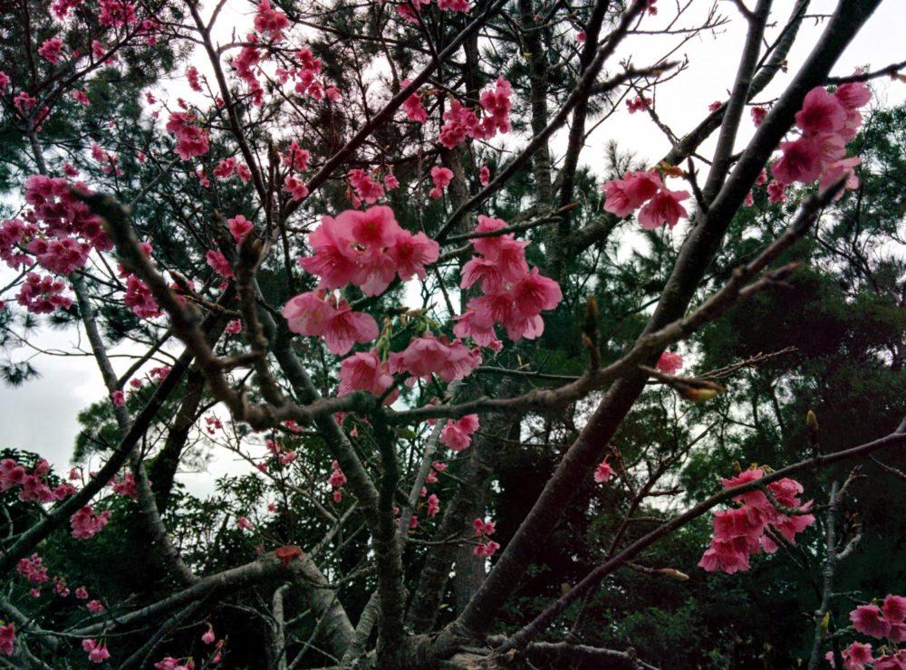 日本一早い桜を見に沖縄へ旅プランを❤