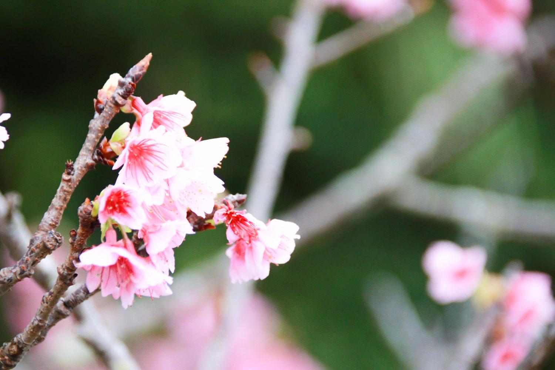 桜祭り❀日本一早い開花